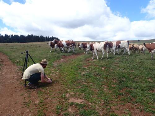 Paco en plein tournage au milieu du troupeau